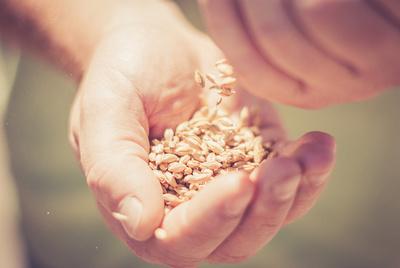 hands-grains-beer